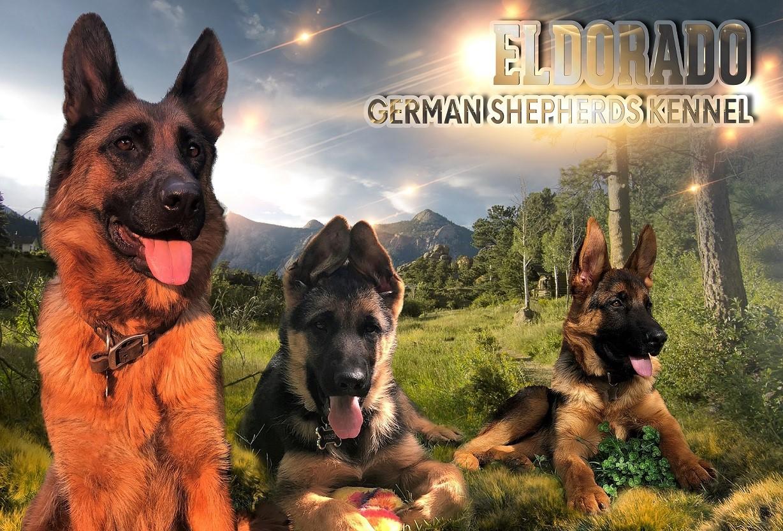 German Shepherd Puppies For Sale German Shepherd Breeder In